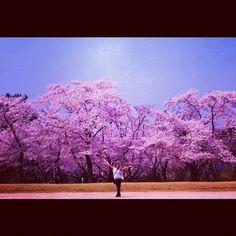 Cherry Blossoms... ♥ That is all    Gyeongju, Gyeongsangbuk-do, South Korea