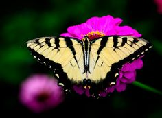 https://flic.kr/p/GdQfhx | Swallowtail Dines on a Zinna | This Swallowtail settles on this Zinnia to enjoy feeding on this flower!