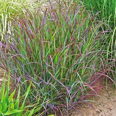 Red switchgrass is ornamental grasses fountain of foliage AND seasonal color, making it ideal for landscapes , forming blue-green foliage that switches color to burgundy red in early summer. In late summer, small reddish flower panicles.winter interest: This sturdy grass stands tall through frost and snow (until the heaviest of snow topples it). Plant in drifts in a perennial border, use as a privacy screen  Cheyenne Sky'  Full sun and well-drained soil  3 feet tall, 18 inches wide  4-9