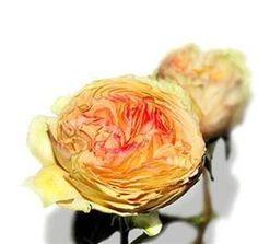 garden rose mistinguet