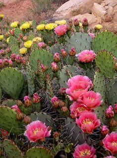 Prickly Pear in bloom, Sonoran Desert - Arizona