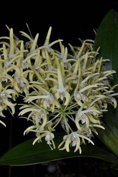 Santa Cruz Orchid Society- Den. Flickerii???