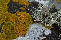Macrophotography / Microphotography of Lichen; 67 Macrophotographic Images of Lichen