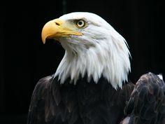 Mountsberg Park Milton Ontario Milton Ontario, Travel And Tourism, Outdoor Travel, The Great Outdoors, Bald Eagle, Road Trip, Park, Animals, Animales