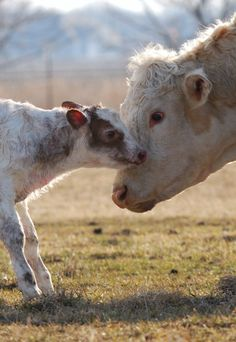 8 Incredible Facts That Prove Cows Are Too Sweet to Eat - ChooseVeg.com