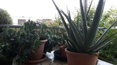 Aloe and other succulents