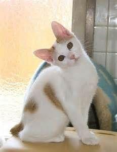 Japanese Bobtail pictures, information, training, grooming and kittens. Japanese Bobtail, Japanese Cat, Cute Cats Photos, Kitten Photos, Gato Bobtail, Kittens Cutest, Cats And Kittens, Kitty Cats, Long Hair Cat Breeds