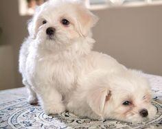 [72Pics] Cuddly White Maltese Puppies (Vol.1) - 1600*1200 White Maltese Puppy - Maltese Maltese Puppies wallpaper 30