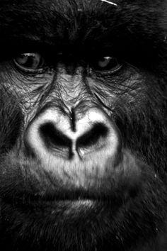 black and white photo gorilla Primates, Mammals, Dian Fossey, Black And White Face, White Pic, Mountain Gorilla, Face Sketch, Orangutan, Black And White Photography