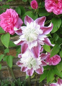 Rose Zephirine Drouhin and Clematis Joseephine loving the clay soil in our garden