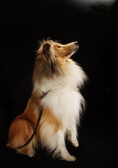 This pic reminds me of fabulous Sheba. The best dog ever!!!  Collie.... Reminds me of miss Mags' puffy chest hair :)