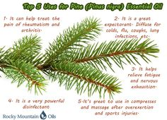 The smell of Pine doesn't have to be reserved for the holidays! Benefit from Pine throughout the year.