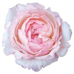 David Austin cut Flower collection. Order them online @ http://www.parfumflowercompany.com or visit your Florist. Pin : #Kiera