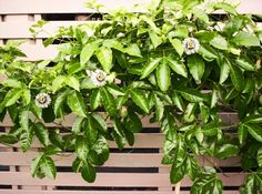 passionfruit vine--we've planted one in our vege garden to give the back fence a bit more appeal