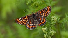 Suomen Perhoset Kirjoverkkoperhonen » Suomen Perhoset Closer To Nature, Finland, Picture Video, Butterflies, Insects, Scenery, Wildlife, Birds, Garden