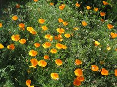 Golden Poppies! Our state flower