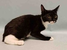 """SILVERBACK - A1087323 - - Manhattan  ***TO BE DESTROYED 09/25/16***TERRIFIC SWEET TUX KITTEN NEEDS FUREVER FRIEND! A volunteer writes, """"Silverback is a gentle little lady. She is shy, but when you talk softly to her she will respond. She has such a gentle purr! Come down to the Manhattan Animal Care Center and meet this dainty little lady!"""" Five month old Silverback was sadly surrendered (along with a few of other other purrfect pals) due to """"too many pets"""