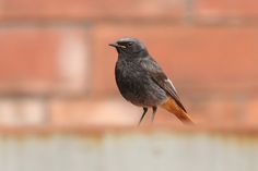 Rougequeue Noir // Hausrotschwanz // Rabirruivo-Preto // Black Redstart (Phoenicurus Ochruros)