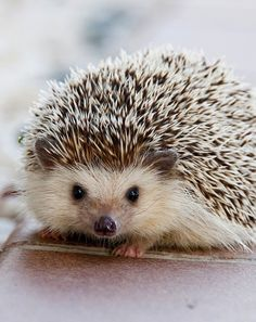 Did you know... Hedgehogs
