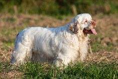 breeds medium Clumber spaniel: Understands new instructions in repetitions; Obeys first command of the time or higher. Clumber spaniels are searching canine at middle, Clumber Spaniel, Spaniel Dog, Spaniels, Smartest Dog Breeds, Dog Breeds List, Socializing Dogs, Field Spaniel, 15 Dogs, Spaniel Breeds