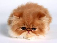 Desktop Fluffy Kitten For The Cutest Kittens On Cute Cats High Resolution Of Laptop Kitty World. Widescreen images about cats cute kittens and on fluffy full hd pics for iphone. Cute Kittens, Fluffy Kittens, Fluffy Cat, Cats And Kittens, Baby Animals, Funny Animals, Cute Animals, Animals Images, Wild Animals