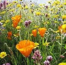 How to Plant Wildflower Seeds. Fall wildflower seed planting will give you an earlier blooming period than spring planting. Keep the soil, where wildflower seeds have been plated, moist during germination, but avoid overwatering after germination. Bonsai, Comment Planter, Wildflower Seeds, Plantar, Prado, Flower Beds, Dream Garden, Lawn And Garden, Garden Beds