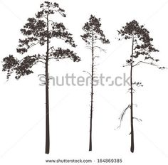 silhouettes of three tall pines on a white background, vector illustration