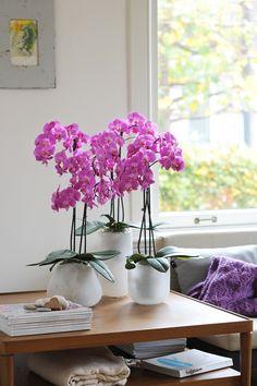 Heb je lef? Ga dan voor knalroze orchideeën om kleur aan je interieur toe te voegen met de orchidee Las Palmas - Anthura