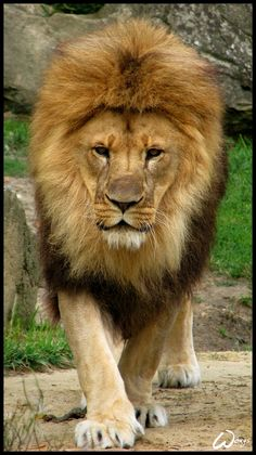Your safe would be safe. by woxys on DeviantArt Amazing Animals, Majestic Animals, Cute Animals, Lion Images, Lion Pictures, Lion King Art, Lion Art, Big Cats, Cool Cats
