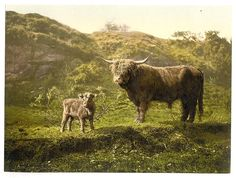 [Father and son (highland cattle)] (LOC) | Flickr - Photo Sharing!