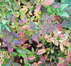 Spiraea japonica autumn colours, Oct 23.