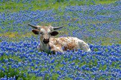 baby longhorn in texas bluebonnets