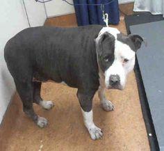 American Pit Bull Terrier dog for Adoption in Sacramento, CA. ADN-638180 on PuppyFinder.com Gender: Female. Age: Senior