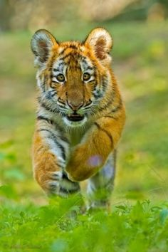 Picture of a Crouching Siberian Tiger