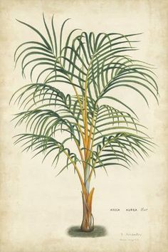 If you like the tropical plant trend in home decor at the moment you will love these gorgeous vintage botanical palm tree illustrations, free to print. Illustration Botanique, Plant Illustration, Botanical Illustration, Indoor Tropical Plants, Tropical Art, Tropical Gardens, Palm Tree Pictures, Herb Art, Palm Tree Art