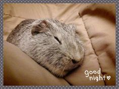 A guinea pig good night from Pigwidgeon!  Thanks goes to Kittie for sharing!  Hay for guinea pigs at http://smallpetselect.com/timothy-hay-for-guinea-pigs