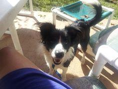 Petfinder Adoptable Dog | Border Collie | Deltona, FL | Miss Priss, a Pocket Border Collie