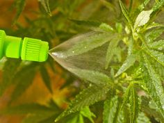 Use marijuana foliar spray to feed through the leaves & to protect cannabis plants from pests and diseases.