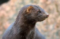 #FurFreeEU Supreme Dutch Court upholds mink farming ban.  In a historic ruling the Dutch Supreme Court has decided that the mink farming ban does not conflict with human rights, as was claimed by the Dutch mink farmers, and shall be upheld.