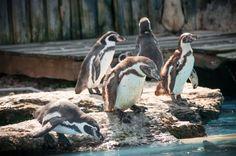 Penguins at Chessington World of Adventures. www.ryanlawrence.co.uk
