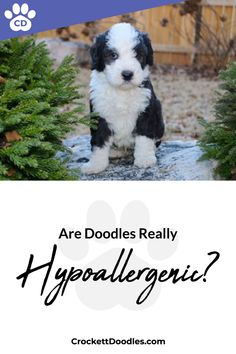 """Balanced article approaching the debate about whether it is fair to call Goldendoodles Labradoodles Bernedoodles and Sheepadoodles """"hypoallergenic"""" """"low shedding"""" or """"non-shedding. Cute Puppies, Cute Dogs, Dogs And Puppies, Doggies, Animals And Pets, Baby Animals, Cute Animals, Labradoodles, Goldendoodles"""