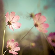 please, don't post big images. it's distracting Pastel Colors, Colours, Pastels, Soft And Gentle, Depth Of Field, Pretty Pastel, Beautiful Images, Dandelion, Wedding Inspiration