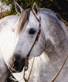 Quarter Horse Stallion Silver Gun