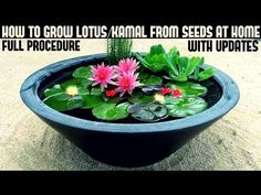 39 DIY Indoor Container Water Garden Ideas Many people adore any type of water feature. An indoor container water garden is perfect for adding a decorative touch to your space. Container Pond, Container Water Gardens, Container Gardening, Small Water Gardens, Container Flowers, Pond Plants, Aquatic Plants, Water Plants, Patio Pond