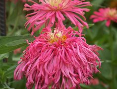 It can be fun to breed your own zinnias - Part 15 - Annuals Forum - GardenWeb