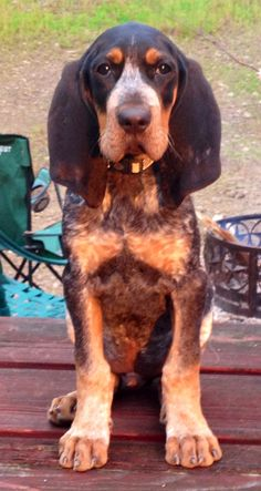 Coon hound.. My girls would love him.