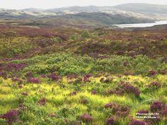 Heather on Isle of Skye, Scotland