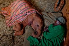 This baby elephant's mother was killed for her tusks. Here the orphan rests in a stall with her keeper at the David Sheldrick Wildlife Trust's Nairobi Elephant Nursery. The conservancy in Kenya nurtures many young victims of the illegal ivory trade. Some will eventually return to the wild.
