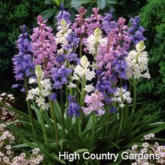 Hyacinthoides 12-15"