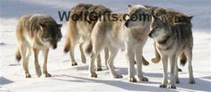 Visit WolfGifts.com for more cool wolf photos. Wolf Photos, Husky, Dogs, Animals, Animales, Animaux, Pet Dogs, Doggies, Animal